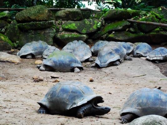 Aldabra giant tortoises | Seychelles