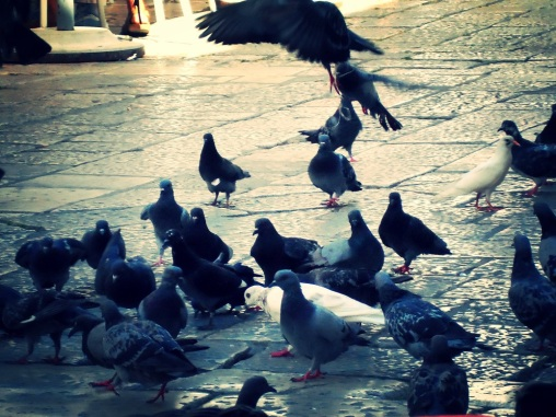 Like any other city, Dubrovnik has no shortage of pigeons...